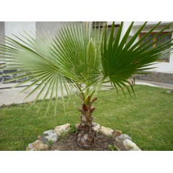 Вашингтон Палма (Washingtonia)